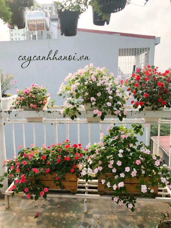 Trang trí ban công với hoa dừa cạn trồng chậu gỗ