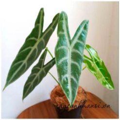 Cây ráy mũi tên lá dài Alocasia Longiloba