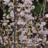 Cành hoa Anh Đào Nhật Bản chơi Tết