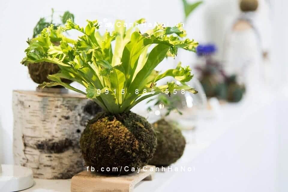 Cách trồng cây cảnh trang trí theo cách Kokedama của người Nhật Bản