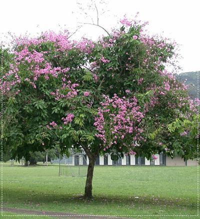 cây Bằng Lăng