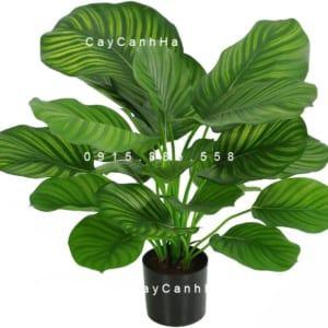 Cây dong táo lá tròn – Calathea fasciata