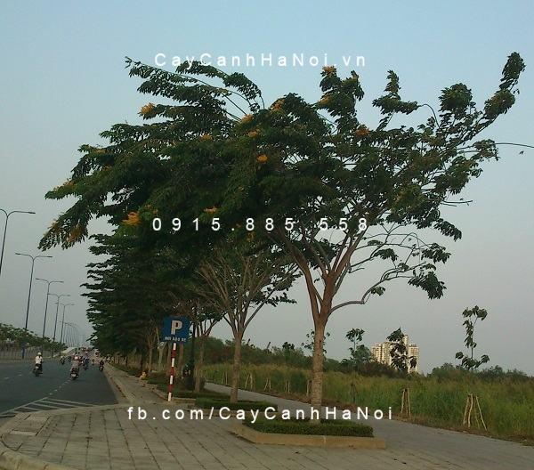 Hàng cây giáng hương