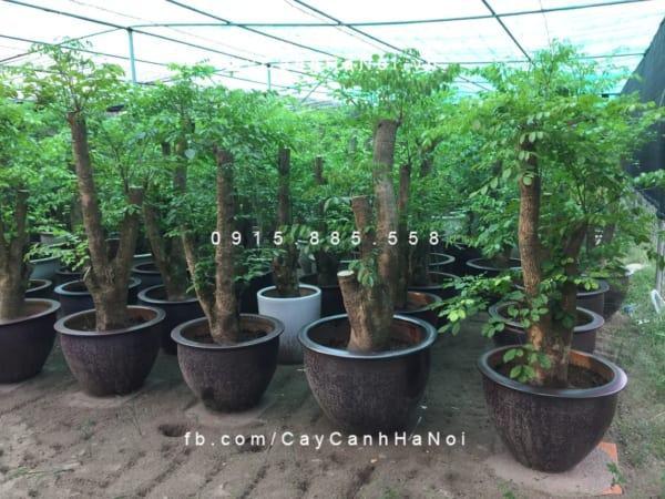 cay-happy-tree (3)