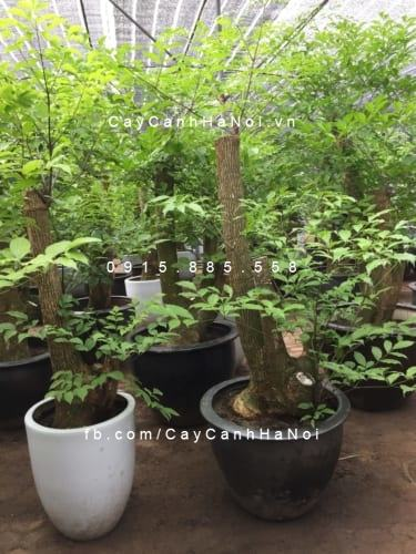 Cây happy tree