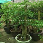 Cây heteropanax chinensis