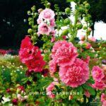 Cây hoa mãn đình hồng