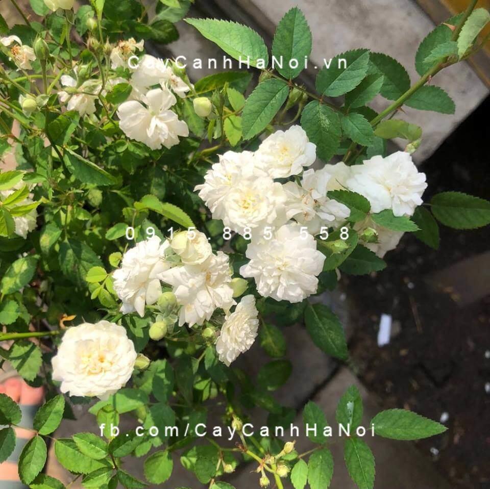 Cây hoa tầm xuân bắc