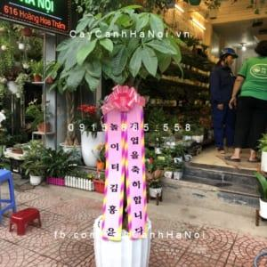 Cây Kim Ngân quà tặng Hàn Quốc