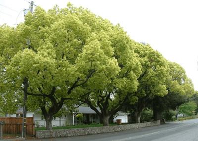 cây long não