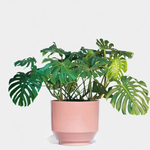 cay-monstera-deliciosa (1)