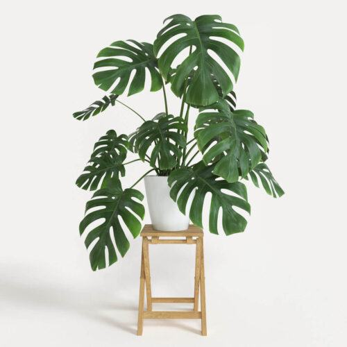 Cây Monstera deliciosa