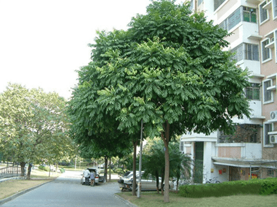 cây Sấu