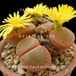 Cây thạch lan lithops