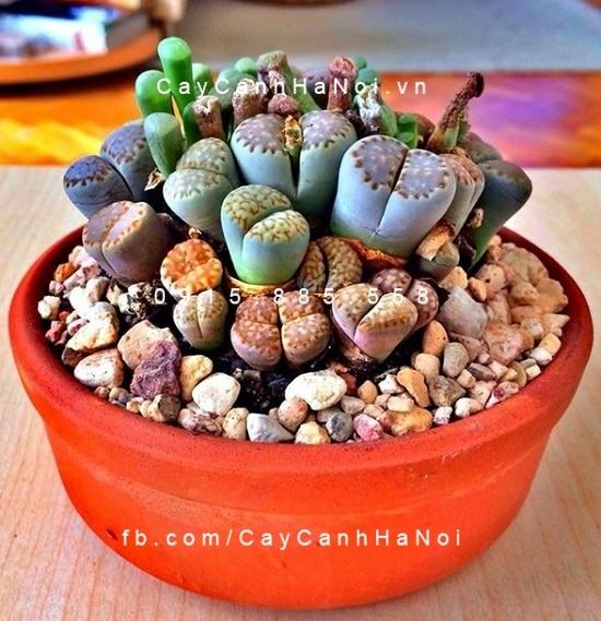 cay-thach-lan-lithops (2)