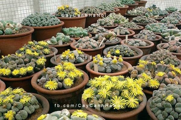 cay-thach-lan-lithops (3)
