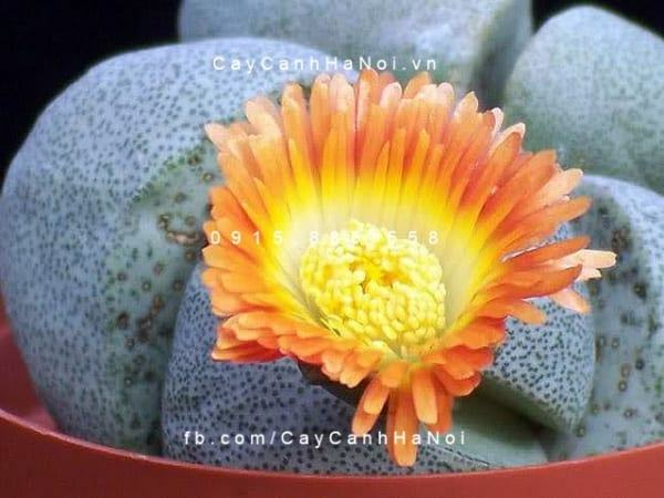 cay-thach-lan-lithops (6)