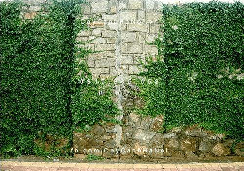 Hình ảnh cây thằn lằn, vảy ốc , trâu cổ