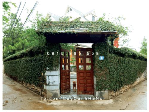 Cây thằn lằn  leo cổng và tường rào