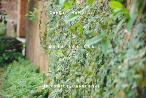 Cây thằn lằn bám tường