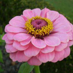 Hoa cúc Zinnia