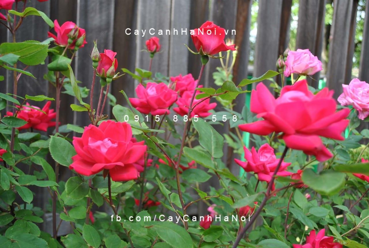 Hoa hồng ta