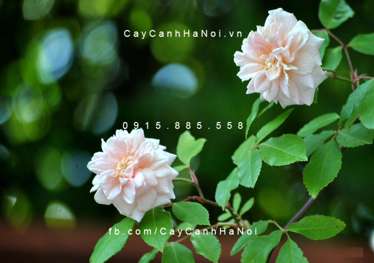 Hoa hồng Tường Vi