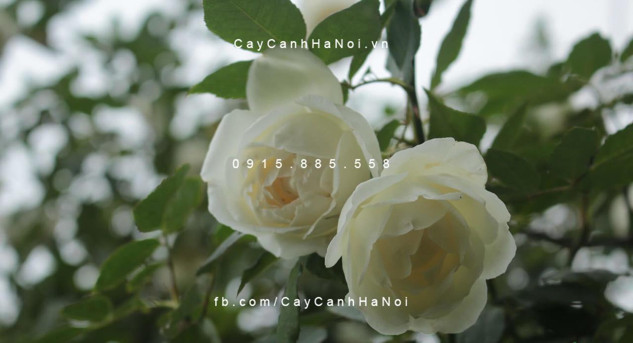 Hoa hồng bạch ho