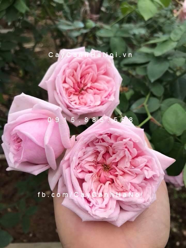 Hoa hồng cổ Vân khôi