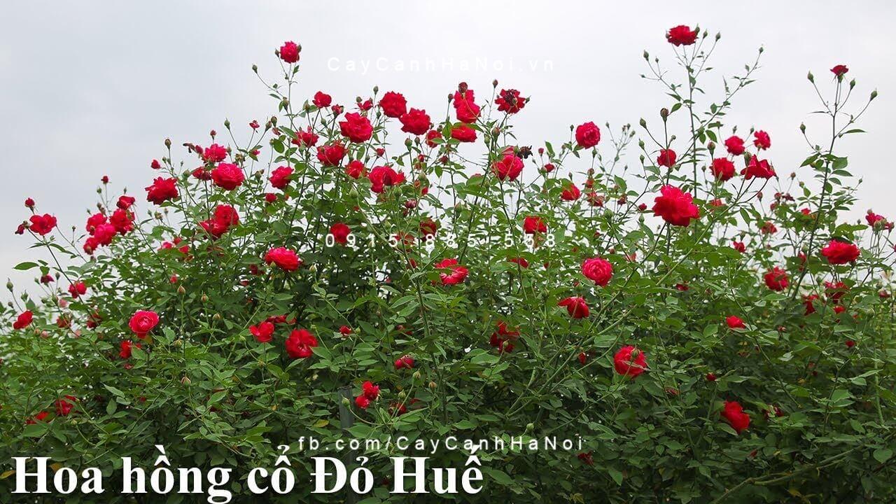 Hoa hồng đỏ quế