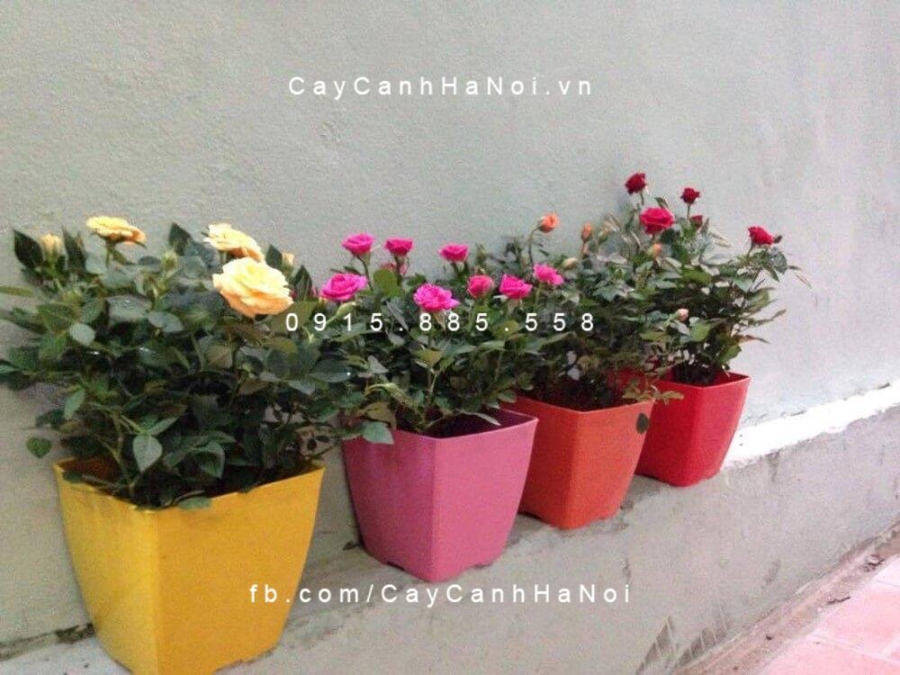Hướng dẫn cách trồng và chăm sóc cây hoa hồng trồng chậu