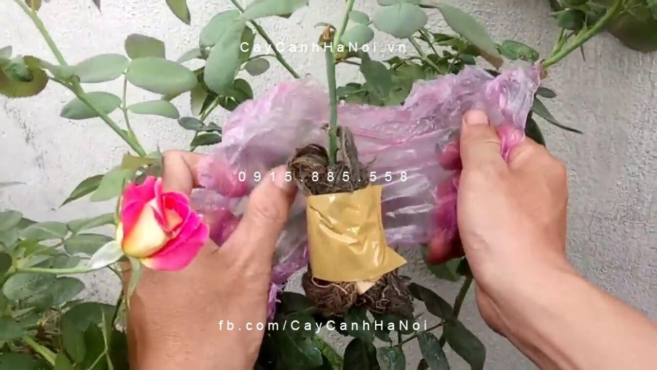 Kinh nghiệm giâm, chiết cành hoa hồng các loại