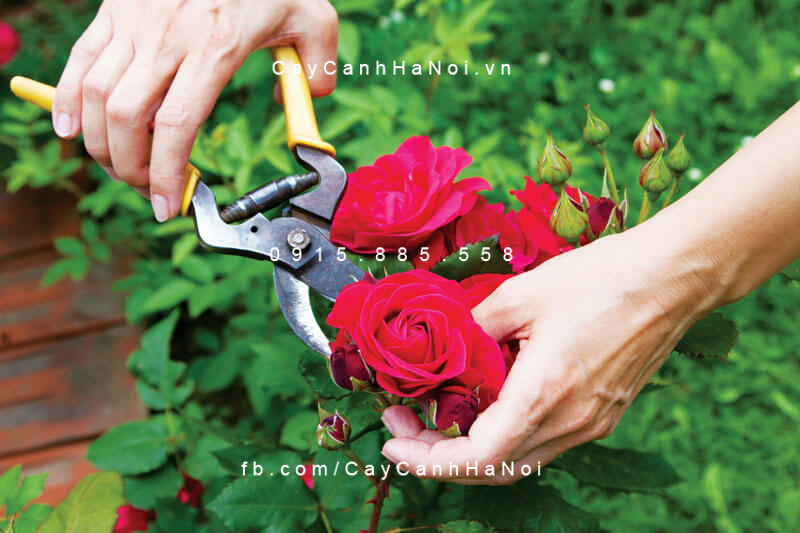 Kỹ thuật cắt tỉa cây hoa hồng