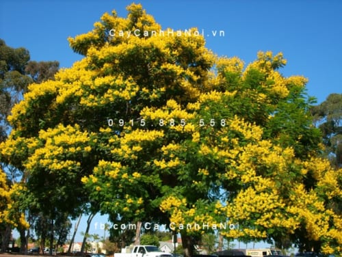 Lim xẹt được trồng rộng rãi trên đường phố, công viên