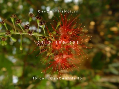 Cây lộc vừng có hoa màu đỏ, khi nở có hương thơm